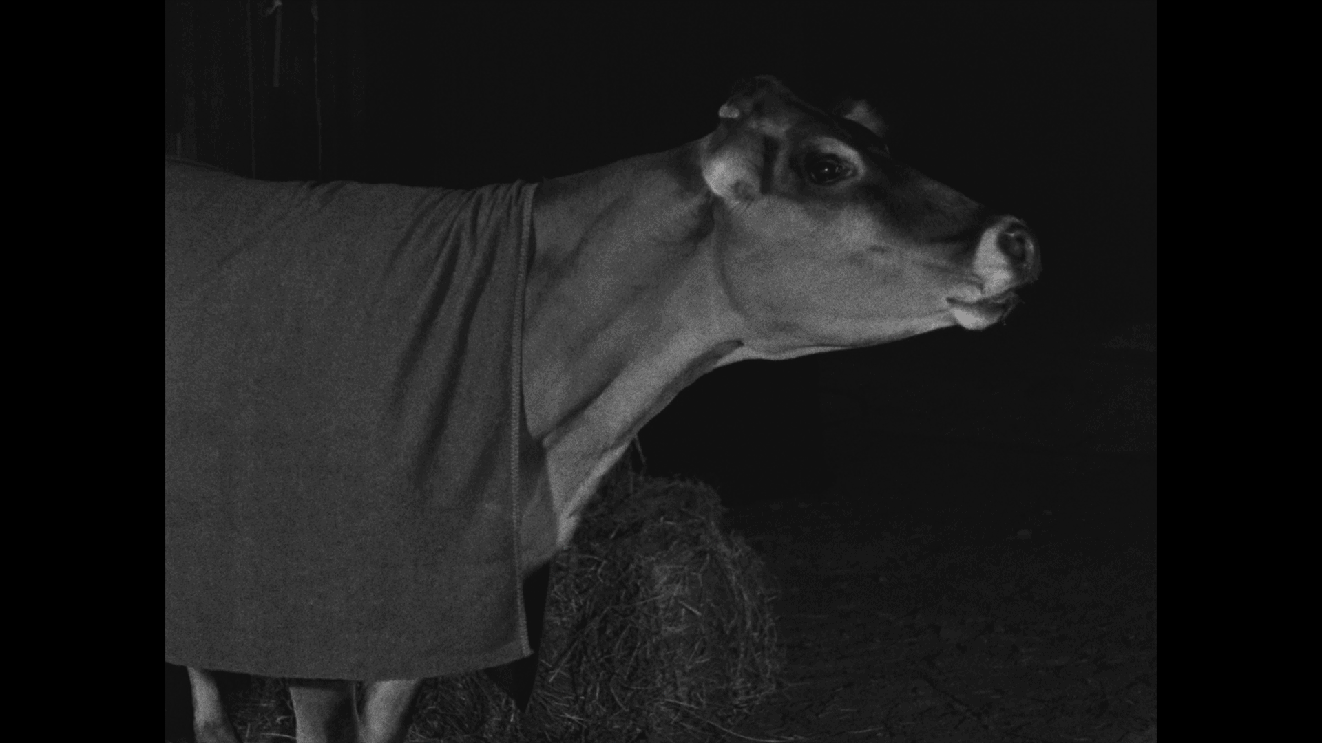buster keaton cow go west